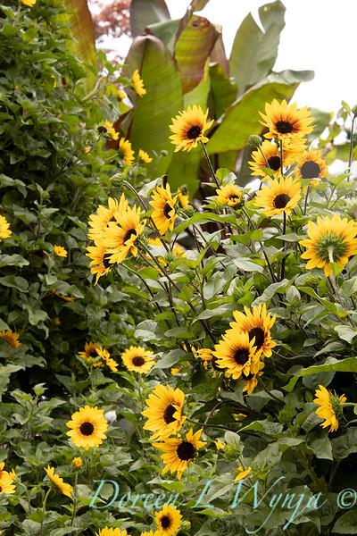 43002 Helianthus x annuus 'TMSNBLEV01' SunBelievable landscape_2248.jpg