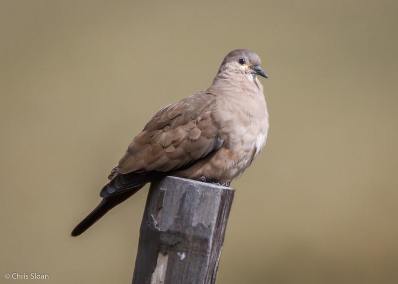 Black-winged Ground-Dove at Antisana Reserve, Ecuador (03-08-2014)-12.jpg