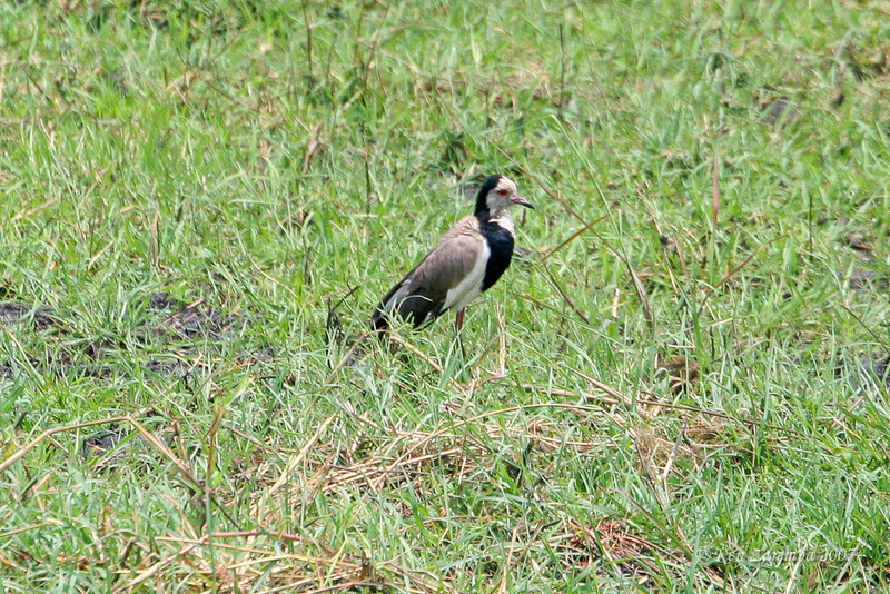 Long-toed Plover, Chobe Nationa Park, Botswana