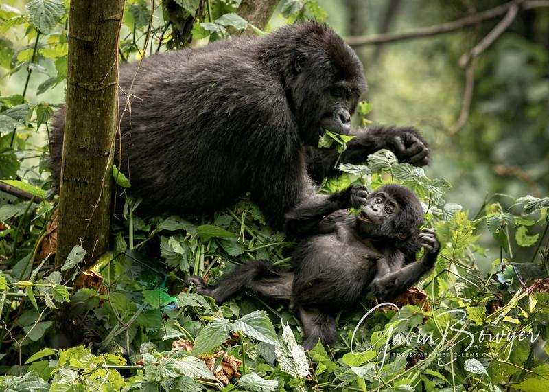 gorillas web-14.jpg