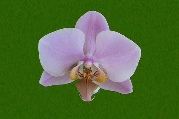 Sandy Dubin's Orchids - March 28, 2021