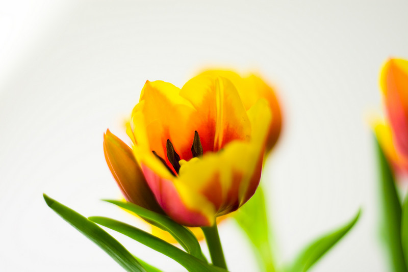 Tulip Light Box_06.jpg