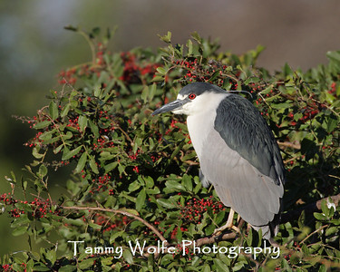 Heron, Black-Crowned Night