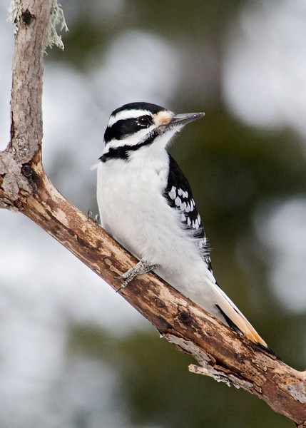 Woodpecker - Hairy - female - Dunning Lake - Itasca County, MN