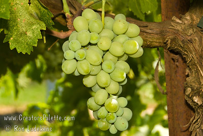 Princess Grapes (Seedless) - Vitis vinifera