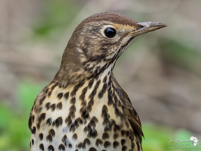 Song Thrush close up