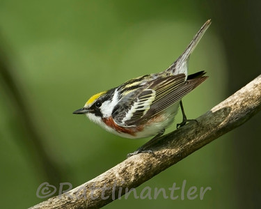 Chestnut-Sided Warblers