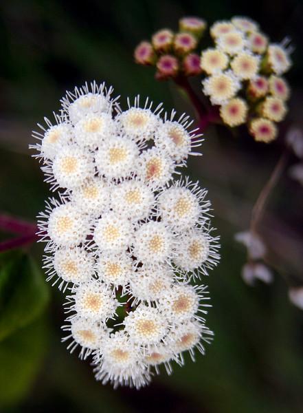 4727 Little White Flowers.jpg