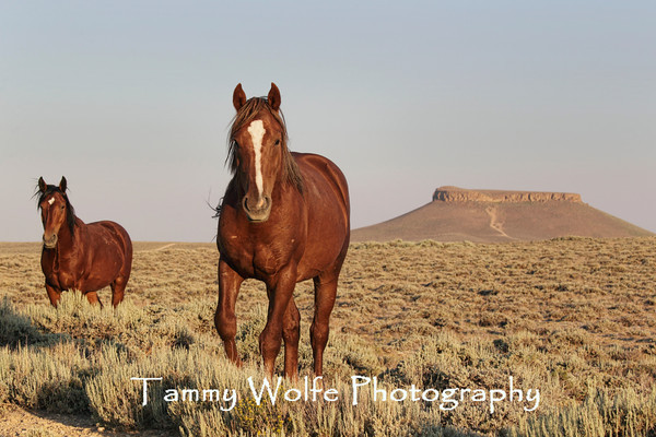 Horses, Feral - Rock Springs (Wyoming)