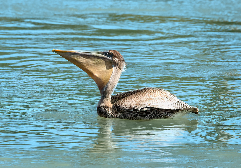 Brown Pelican waiting to swallow his fish caught in his pouch!