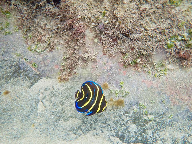 Pez azul nadando en el arrecife