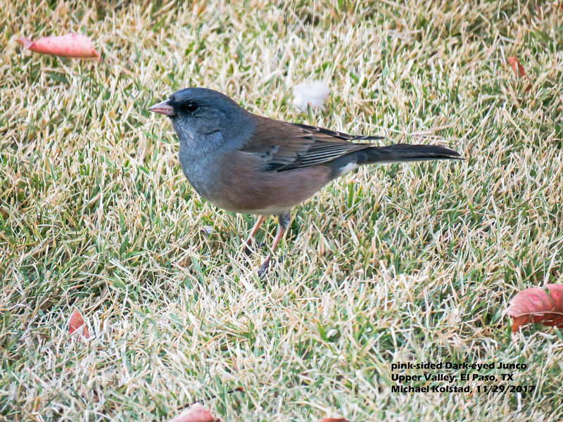 IMG_8737 3T ^L Dark-eyed Junco, pink-sided, our home 1129.jpg