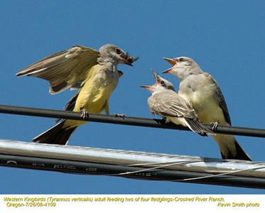 WesternKingbirdsA&J4109.jpg