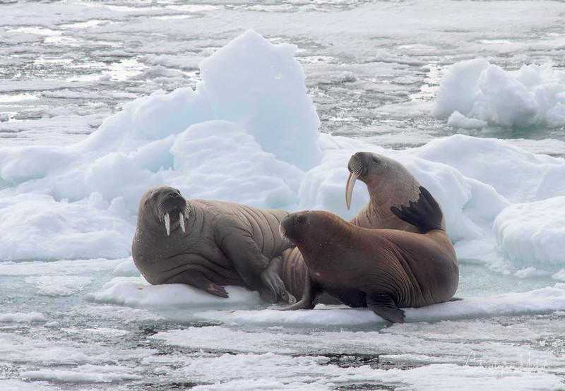 walrus fam2.jpg