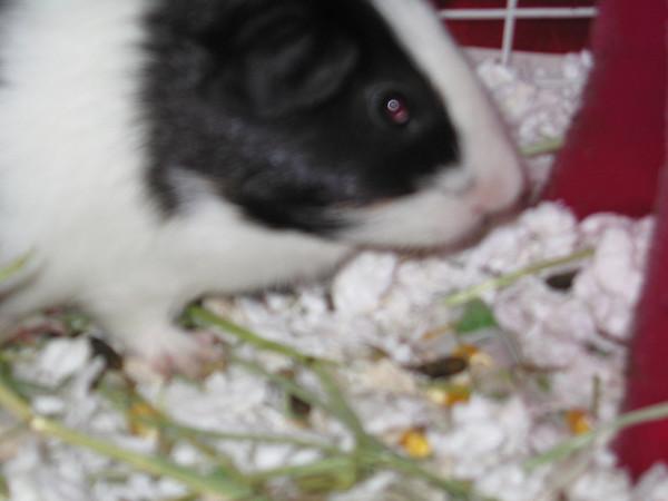 Guinea Pigs 2011