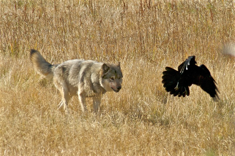 Wolf chasing off Ravens Yellowstone National Park WY IMG_0000206.jpg