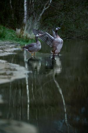 Fine Art natuur foto van twee kolganzen aan de vijver te Nistelrode.
