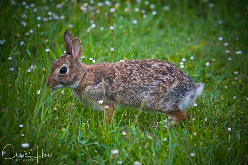 Wild Rabbit, William Finley National Wildlife Refuge