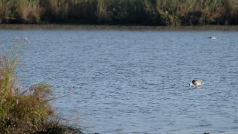 kulik wielki | eurasian curlew | numenius arquata