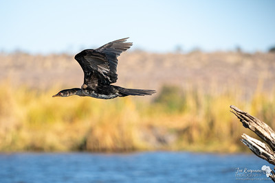Reed Cormorant in Flight