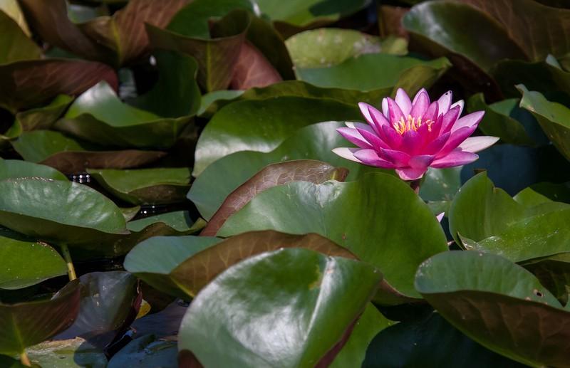 lotus water lilies-3117.jpg