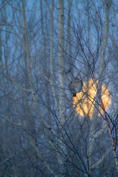 Ruffed Grouse and full moon CR83 Sax-Zim Bog MN IMG_0190.jpg