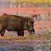 Wild pig in a lake in India