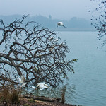 White Ibis flying over a foggy lake