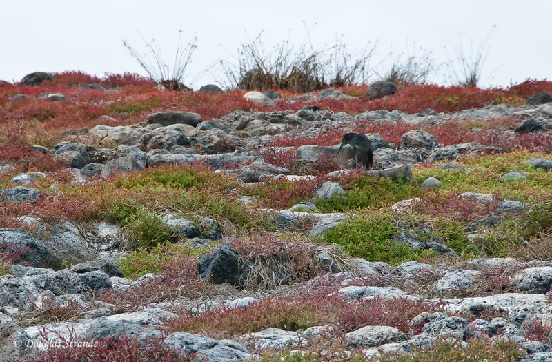 A Lava Heron in a field of sesuvium and lava, South Plaza Island