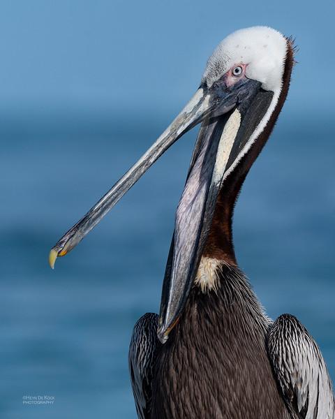 Brown Pelican, Fort De Soto, St Petersburg, FL, USA, May 2018-1.jpg
