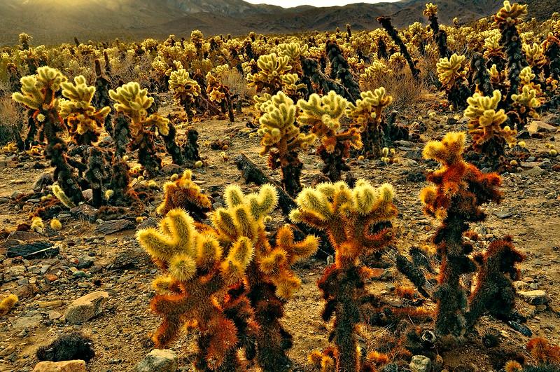 Chola cactus @ Joshua tree national park