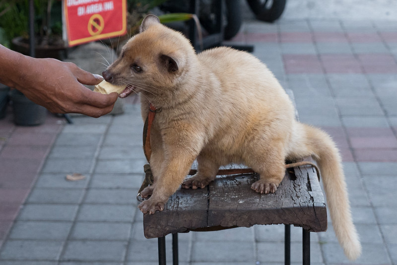 A golden civet or luwak enjoying some bananas at the Uluwatu Temple market