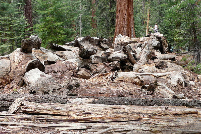 Fallen Tree. Mariposa Grove, Yosemite NP