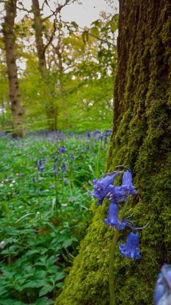 bluebellwoods-8.jpg