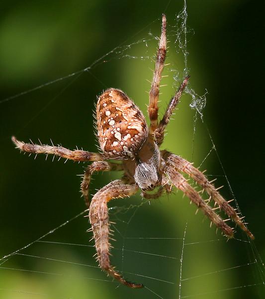 1716 Spider.jpg
