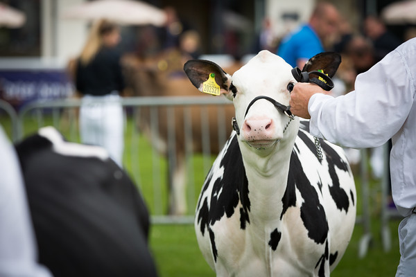 Royal Welsh Show 2019 Holsteins
