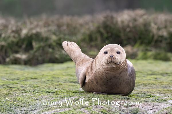 Seal, Harbor