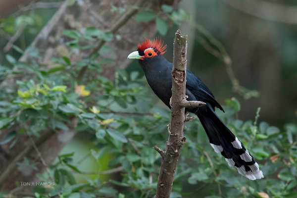 Rough Crested Malkoha