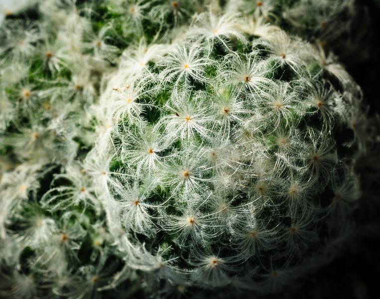 Mammillaria plumaros-5489.jpg