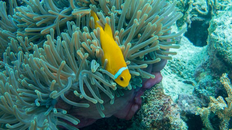 Maldives Anemonefish, Amphiprion nigripes