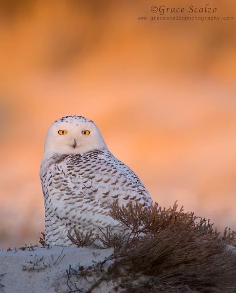 SnowyOwlFIre2009-01-03_Snowy owls__MG_5841-Edit.jpg