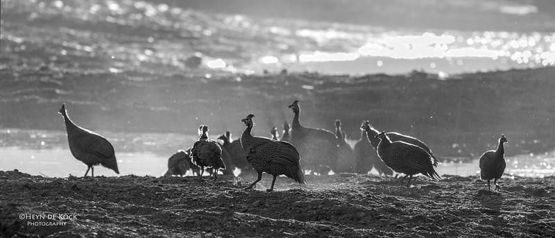 Helmeted Guineafowl, b&w, Mashatu GR, Botswana, May 2017-1.jpg