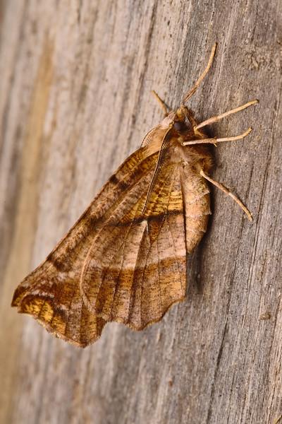 Northern Selenia Moth