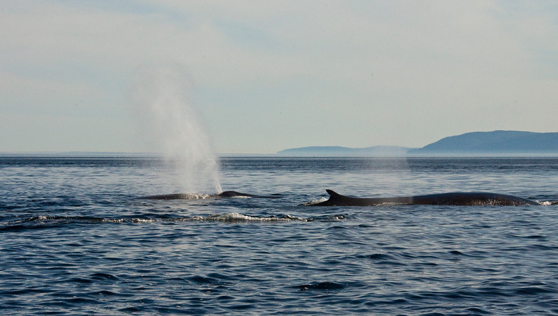 2011 quebec whale watching (31 of 80).jpg