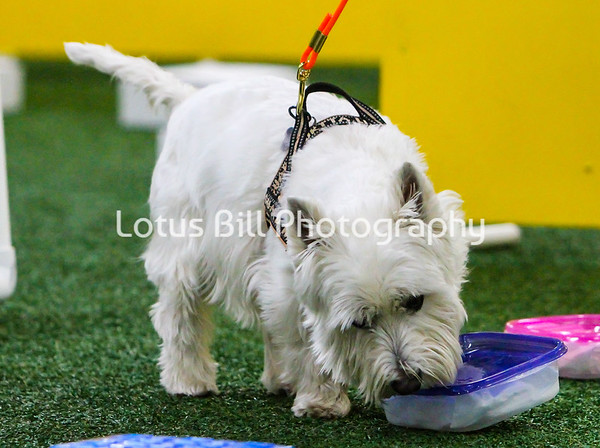 West Highland White Terrier KY