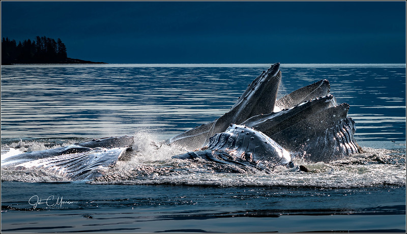 Whales Bubble feeding