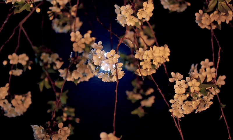 Apricot blossoms in the moonlight at the Santuario de Chimayo on Good Friday, April 19, 2019. Luis Sánchez Saturno/The New Mexican
