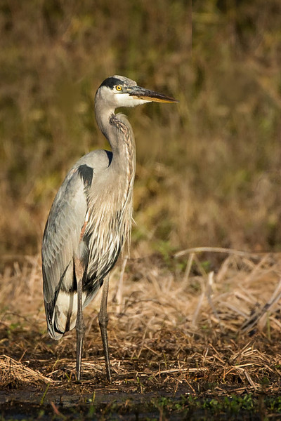 Great Blue Heron in the late afternoon sun on Avery Island.