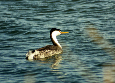 BIRDS: Grebes (Podicipedidae)