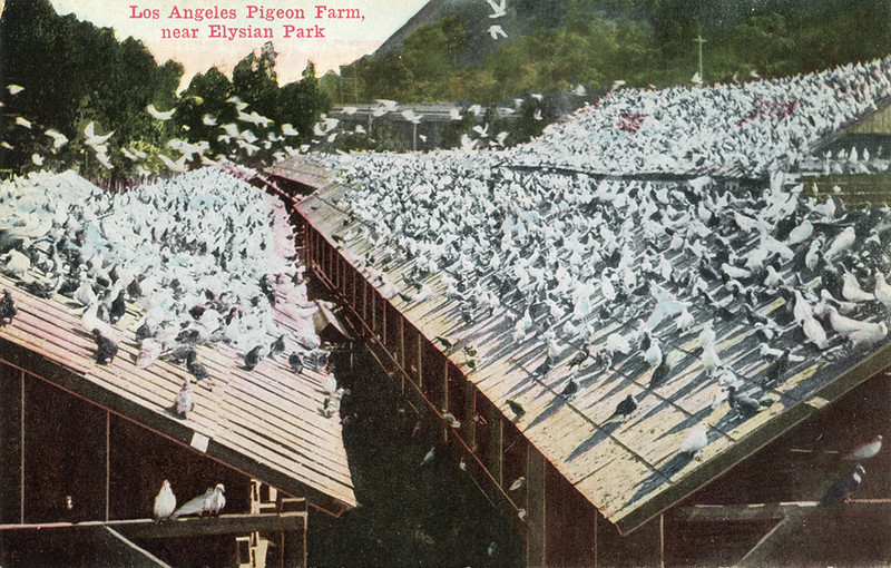 Los_Angeles_Pigeon_Farm_near_Elysian_Park.jpg